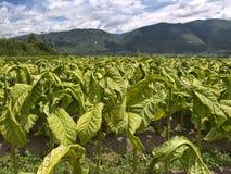 Campo di tabacco Fotografie Stock