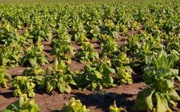 Campo di tabacco Fotografie Stock Libere da Diritti