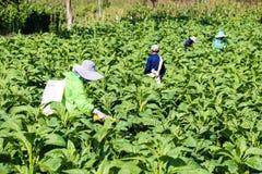 Campo di tabacco Fotografia Stock Libera da Diritti