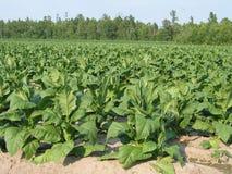 Campo di tabacco Fotografia Stock