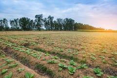Campo di tabacco con luce solare Fotografia Stock Libera da Diritti