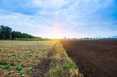 Campo di tabacco con luce solare Immagini Stock Libere da Diritti