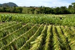 Campo di tabacco in Cuba Fotografia Stock