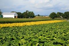 Campo di tabacco della Pensilvania Fotografie Stock