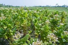 Campo di tabacco fuori di Dacca, Vatara, manikganj, Bangladesh Immagini Stock