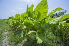 Campo di tabacco fuori di Dacca, Vatara, manikganj, Bangladesh Immagine Stock