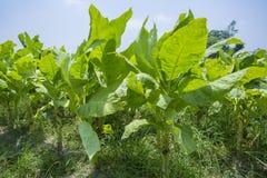 Campo di tabacco fuori di Dacca, Vatara, manikganj, Bangladesh Fotografia Stock