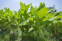 Campo di tabacco fuori di Dacca, Vatara, manikganj, Bangladesh Immagini Stock Libere da Diritti