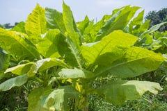 Campo di tabacco fuori di Dacca, Vatara, manikganj, Bangladesh Fotografie Stock