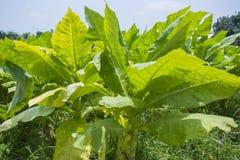 Campo di tabacco fuori di Dacca, Vatara, manikganj, Bangladesh Fotografia Stock Libera da Diritti