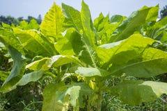 Campo di tabacco fuori di Dacca, Vatara, manikganj, Bangladesh Fotografie Stock Libere da Diritti