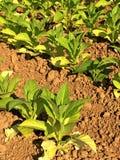 Campo di tabacco nell'Alsazia Fotografia Stock Libera da Diritti