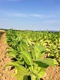 Campo di tabacco nell'Alsazia, Francia Immagine Stock