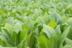 Campo di tabacco verde Fotografie Stock Libere da Diritti