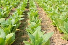 Campo di tabacco verde Immagini Stock Libere da Diritti