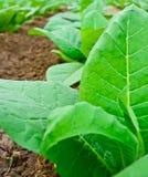 Campo di tabacco verde del primo piano in Tailandia Fotografia Stock