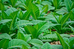 Campo di tabacco verde del primo piano in Tailandia Immagine Stock Libera da Diritti