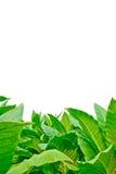 Campo di tabacco verde su fondo bianco Fotografia Stock Libera da Diritti
