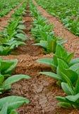 Campo di tabacco verde in Tailandia Immagini Stock Libere da Diritti