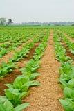 Campo di tabacco verde in Tailandia Fotografie Stock Libere da Diritti