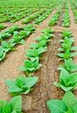 Campo di tabacco verde in Tailandia Immagine Stock Libera da Diritti