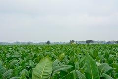 Campo di tabacco verde in Tailandia Fotografia Stock Libera da Diritti