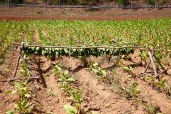 Campo di tabacco, Vinales, Cuba Fotografia Stock Libera da Diritti