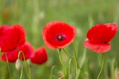 Campo di tre Poppy Flowers Bloom On Spring fotografia stock libera da diritti