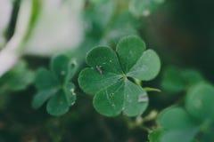 Campo di verde del trifoglio di tre foglie Fotografie Stock Libere da Diritti