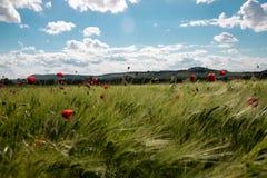 Campo di verde della primavera di segale, punte con i fiori rossi luminosi del papavero contro il cielo blu con le nuvole bianche immagine stock libera da diritti