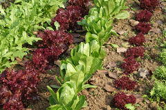 Campo di verdure immagine stock