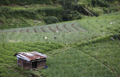 Campo di verdure Fotografie Stock Libere da Diritti