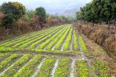 Campo di verdure Fotografia Stock