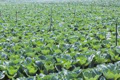Campo di verdure del cavolo, azienda agricola nella città del Lat del Da Immagine Stock