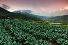 Campo di verdure del cavolo con il Monte Kinabalu ai precedenti in Kundasang, Sabah, Malesia Fotografia Stock