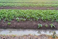 Campo di verdure dell'azienda agricola Immagine Stock