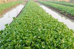 Campo di verdure dell'azienda agricola Immagine Stock Libera da Diritti