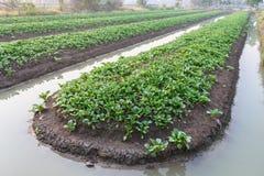 Campo di verdure dell'azienda agricola Fotografia Stock Libera da Diritti
