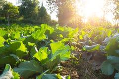 Campo di verdure di agricoltura Immagini Stock