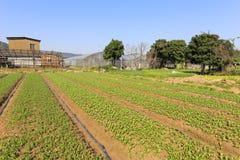 Campo di verdure ordinato del villaggio del yuanqianshe Immagini Stock
