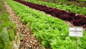 Campo di verdure organico Fotografie Stock Libere da Diritti
