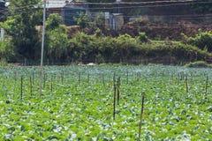 Campo di verdure verde in azienda agricola Fotografia Stock Libera da Diritti