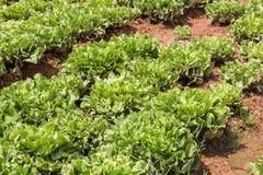 Campo di verdure verde in azienda agricola Immagini Stock