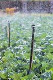Campo di verdure verde in azienda agricola Fotografia Stock