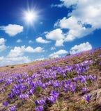 Campo do açafrão de florescência Imagens de Stock