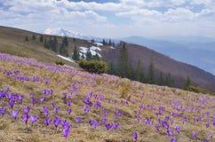Campo do açafrão de florescência nas montanhas Fotos de Stock Royalty Free