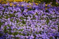 campo do açafrão do violett Imagens de Stock Royalty Free