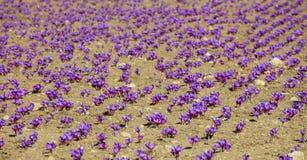 Campo do açafrão no outono, tempo de colheita Foto de Stock