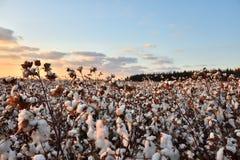 Campo do algodão Imagens de Stock Royalty Free