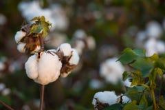 Campo do algodão foto de stock royalty free